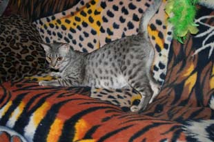 Ocicat Breeder: Domestic Spotted Ocicats & Kittens for Sale